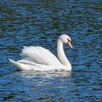 Лебедь белая плывет :: Liliya Kharlamova