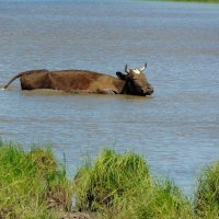 Водяная корова. :: nadyasilyuk Вознюк