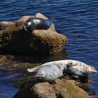 А вот и настоящие тюлени! Отдыхают... :: Юрий Поляков