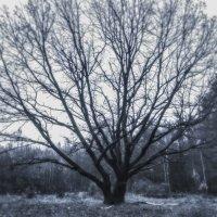 Ветвистый дуб :: Игорь Чичиль