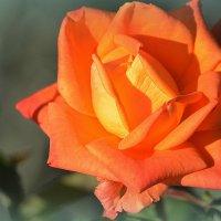 Осенняя роза :: Ольга (crim41evp)
