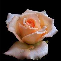 Любуясь розой. фото-1. :: Nata