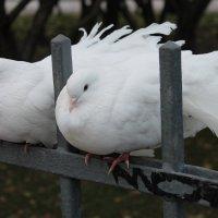 Питеские голуби :: Виктория