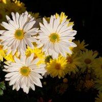 Хризантемы. :: Наташа С