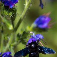 Синяя муха :: Светлана SvetNika17