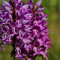 Очаровательный луговой цветок :: Татьянка *
