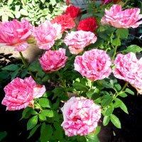 Розовые розы. :: Надежда