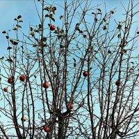 Поздние яблочки :: Татьяна Помогалова