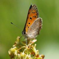 и снова бабочки  1 :: Александр Прокудин