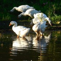 Гуси-лебеди :: Надежда