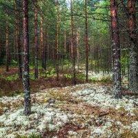 ягель в Карельском лесу :: Георгий А