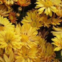 жёлтые хризантемы :: tina kulikowa