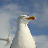 Портрет чайки :: Валентина
