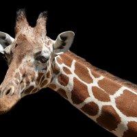 vit5 жираф :: Vitaly Faiv