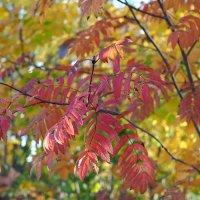 Осенняя палитра листьев :: Swetlana V