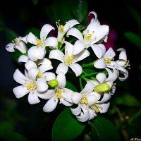 Чарующий аромат цветков мурайи... :: Андрей Заломленков
