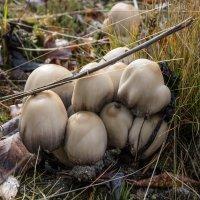 Поздние грибы :: Владимир Бобришев