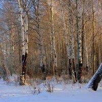 Зимний лес - это сказочный сон... :: Нэля Лысенко