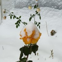 Зимние розы :: Александр Скамо