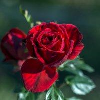 Роза октября :: gribushko грибушко Николай