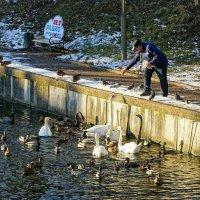 Лебеди и утки нуждаются в подкормке :: Милешкин Владимир Алексеевич