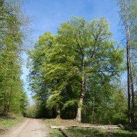 два старых деревьев и время – Лето :: Heinz Thorns