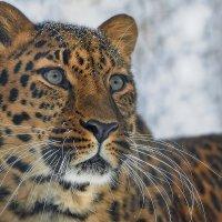 Леопард :: Виктор Шпаков
