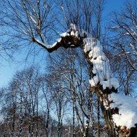 зимнее дерево :: Александр Прокудин