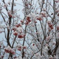 Рябины гроздья в белых облаках... :: Нэля Лысенко