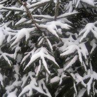 Снежные... :: Елена Семигина