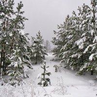 Мороз снежком укутывал... :: Людмила И.