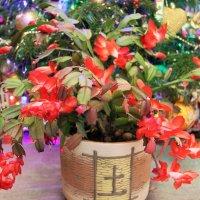 Цветок декабря. :: Лариса Исаева