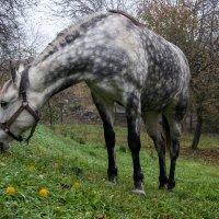 Пока еще трава зеленая... (О белой в яблоках лошадке) :: Наталья Костенко