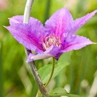 Сиреневенький цветочек. :: Alexandr Gunin
