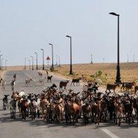 В Омане дороги построили для козликов :: Георгий А