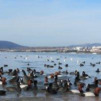 Утки Черного моря :: ИРЭН@ .