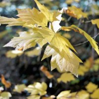 Осенние листья дрожат на ветру :: Виктория Попова