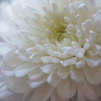 Белая хризантема :: Наталия Григорьева
