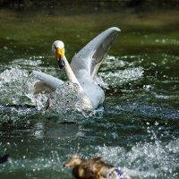 Лебедь :: Nn semonov_nn