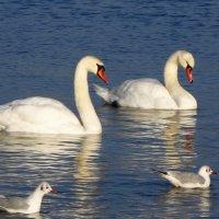 Лебеди и чайки на море :: Маргарита Батырева