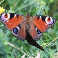Бабочки..бывает и так :: ZNatasha -
