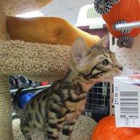 Котёнок бенгала. :: Зинаида