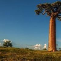 Одинокий баобаб... Мадагаскар! :: Александр Вивчарик