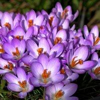 Крокусы - весны цветы... :: Ирина Румянцева