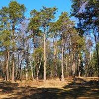 В весеннем лесу под Смоленском :: Милешкин Владимир Алексеевич