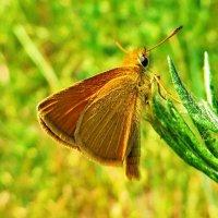 Thymelicus lineola - Толстоголовка тире. :: ivan