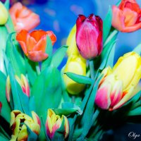Тюльпаны :: Ольга Черкес