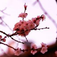 Розовая весна :: Юрий Гайворонский