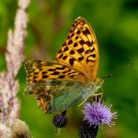 и снова бабочки 45 :: Александр Прокудин