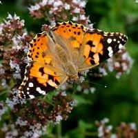 и снова бабочки 50 :: Александр Прокудин